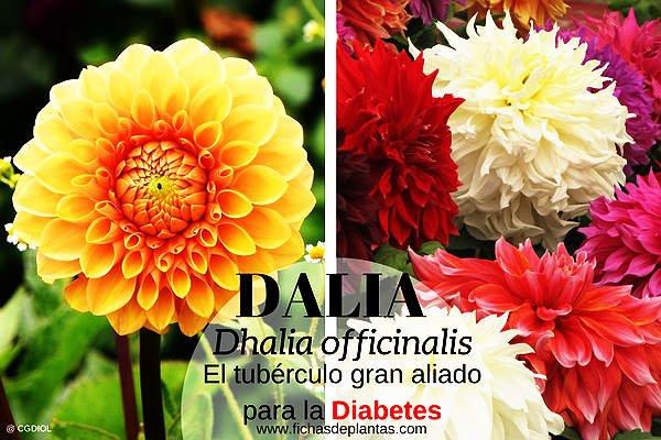Dalia, Propiedades y Usos Medicinales