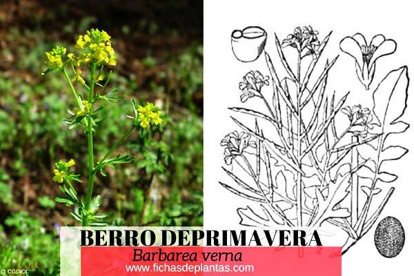 Berro de Primavera, lepidium sativum | DESCRIPCIÓN Y PROPIEDADES