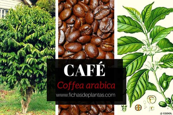 Planta del Café, Coffea arabica