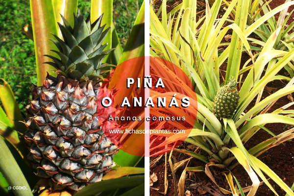 Piña, Ananas comosus | DESCRIPCIÓN Y PROPIEDADES MEDICINALES