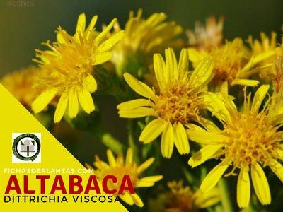 Altabaca Planta Medicinal