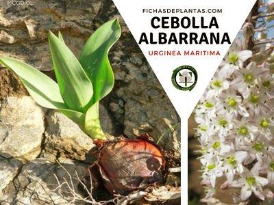 Cebolla Albarrana, Urginea maritima | Descripción y Propiedades