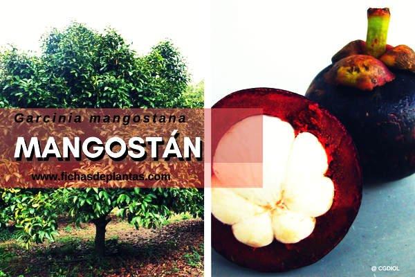 Mangostán | Descripción Botánica y Propiedades Medicinales