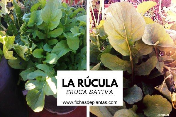 Rúcula, Eruca sativa | Descripción y Propiedades Medicinales