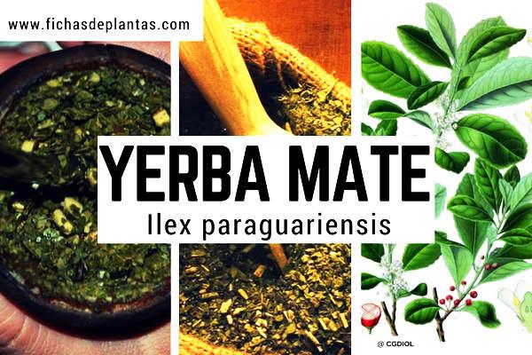 Yerba Mate, Ilex paraguariensis