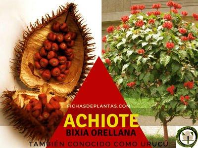 Achiote Planta Medicinal