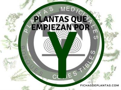 Plantas que Empiezan con Y | ÍNDICE DE PLANTAS