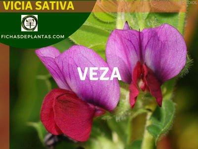 Vicia sativa, Veza Planta Medicinal y Comestible