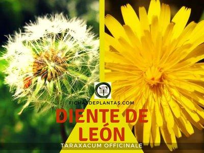 Diente de León, Taraxacum officinale