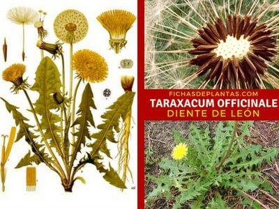 Taraxacum officinale, Diente de León