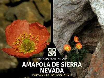Amapola de Sierra Nevada, Papaver lapeyrousianum
