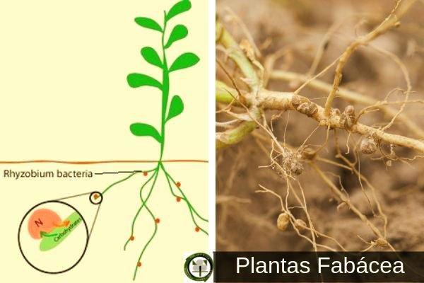 Plantas Fabaceas