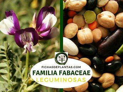Familia Fabaceae | Leguminosas