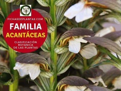 Familia Acantáceas | Clasificación botánica de las plantas