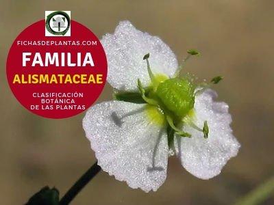 Familia Alismatáceas | Clasificación Botánica de las plantas