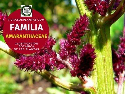 Familia Amarantáceas   Clasificación Botánica de las Plantas
