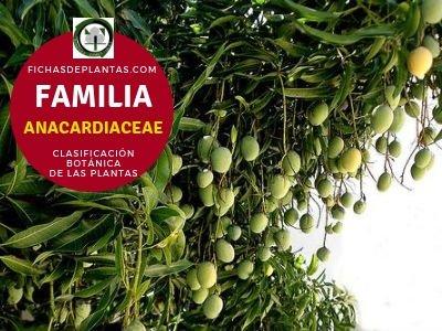 Familia Anacardiáceas | Clasificación Botánica de las Plantas
