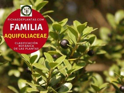 Familia Aquifoliáceas | Clasificación Botánica de las Plantas