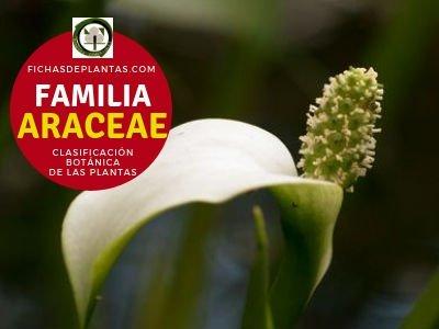 Familia Araceae o Acoraceae