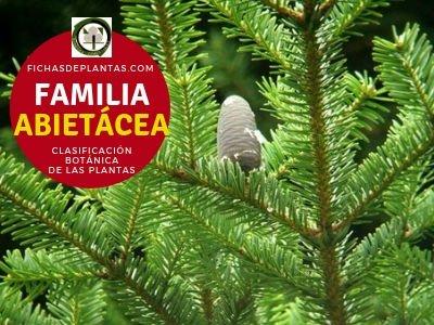Familia abietáceas | Clasificación Botánica de las Plantas