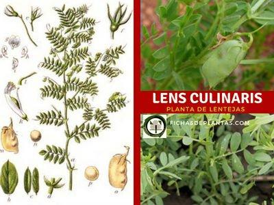 Lens culinaris Med, Lentejas