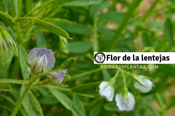 Flor de la Lentejas