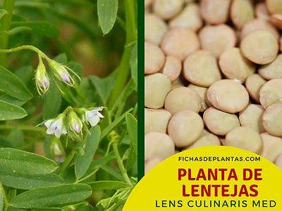 Lenteja, Lens culinaris Med | Fichas de Plantas
