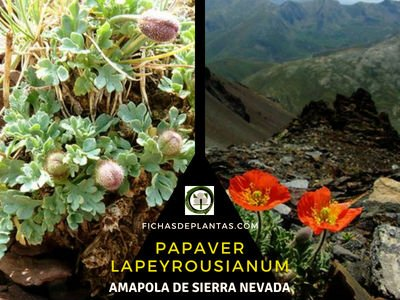 Papaver lapeyrousianum