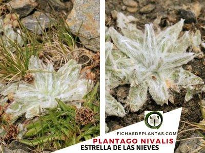 Plantago nivalis