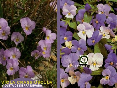 Viola crassiuscula, Violeta de Sierra Nevada