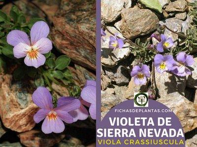 Violeta de Sierra Nevada, Viola crassiuscula | Fichas de Plantas