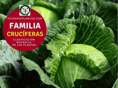 Familia Crucíferas | Clasificación Botánica de las Plantas
