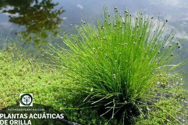 Especies de Plantas Acuáticas de Orilla