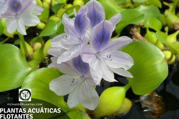 Especies de Plantas Acuáticas Flotantes