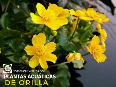 Plantas Acuáticas de Orilla