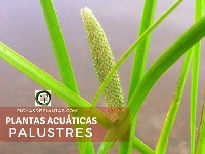 Plantas Acuáticas Palustres