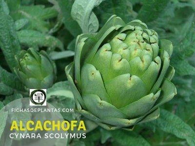 Alcachofa, Cynara scolymus | Índice de plantas