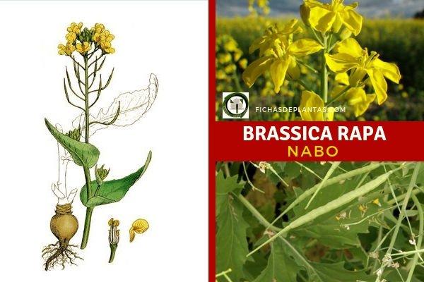 Brassica rapa, Nabo