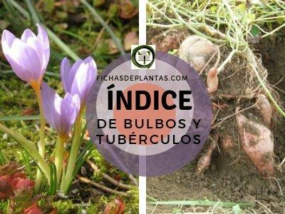Bulbos y Tuberculos | Índice de Plantas