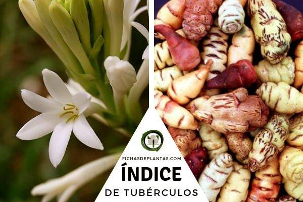 Indice de Plantas de Tubérculos
