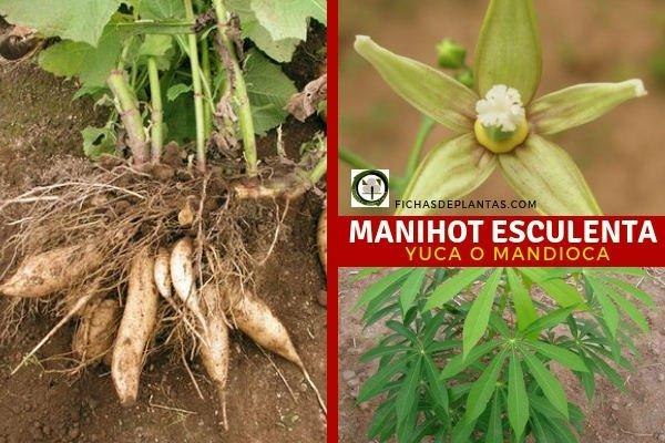 Manihot esculenta, cultivo.