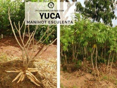 Yuca Planta Medicinal