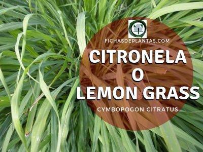 Citronela ( Cymbopogon citratus) | Descripción y Propiedades
