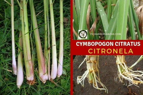 Cymbopogon citratus, Citronella