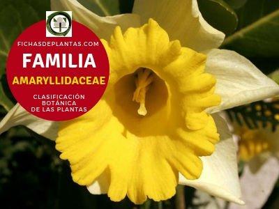Familia Amarilidaceas | Clasificación Botánica de las Plantas