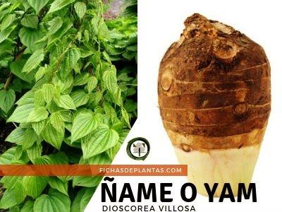 Ñame o Yam, Dioscorea villosa | Fichas de Plantas