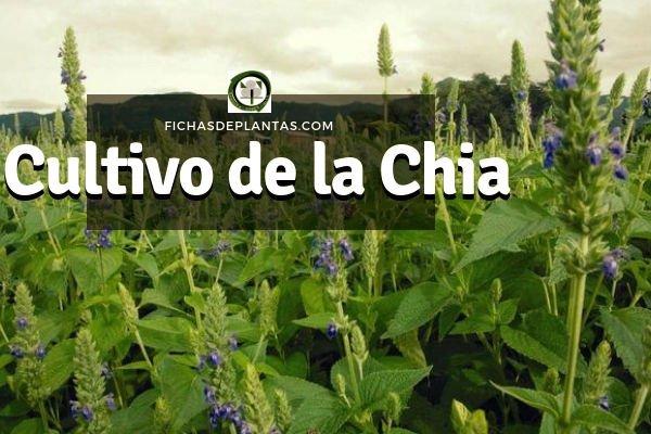 Cultivo de la Chia
