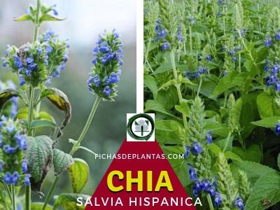 Chia Planta Medicinal