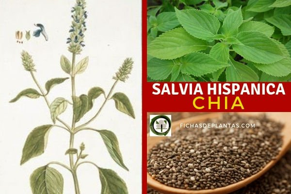 Salvia hispanica, Chia
