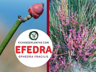 Efedra, Ephedra fragilis | Descripción, Usos y Propiedades Medicinales